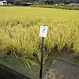 20111015稲刈り体験_1