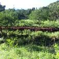 シソ畑20110715_2