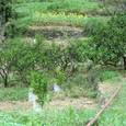 むすび農園20110817_2